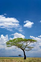 Umbrella Thorn Acacia, Serengeti National Park, Tanzania Fine Art Print