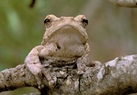 Tree Frog, Phinda Reserve, South Africa Fine Art Print