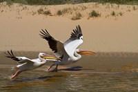 White Pelicans, Sandwich Harbor, Namib-Naukluft, Namibia Fine Art Print