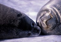 Weddell Fur Seal Cow and Pup, Antarctica Fine Art Print
