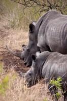 White Rhino in Zulu Nyala Game Reserve, Kwazulu Natal, South Africa Fine Art Print