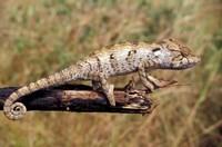 Wild Chameleon, Madagascar Fine Art Print