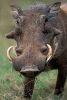 Warthog Displays Tusks, Addo National Park, South Africa Fine Art Print