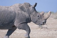 White Rhino Running, Etosha Salt Pan, Etosha National Park, Namibia Fine Art Print