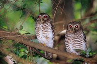 White Browed Owls, Madagascar Fine Art Print