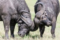 Two bull African Buffalo head butting in a duel, Maasai Mara, Kenya Fine Art Print