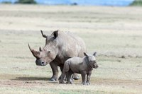White rhinoceros mother with calf, Kenya Fine Art Print