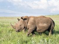White rhinoceros, Ceratotherium simum, Kenya, Africa Fine Art Print