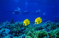 Yellow Butterflyfish with Scuba Divers, Red Sea, Egypt Fine Art Print