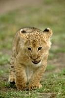 Young lion cub, Masai Mara Game Reserve, Kenya Fine Art Print