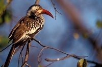 Zimbabwe, Hwange NP, Red-billed hornbill bird Fine Art Print