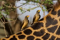 Yellow-Billed Oxpeckers on the Back of a Giraffe, Tanzania Fine Art Print