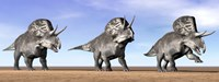 Three Zuniceratops standing in the desert Fine Art Print