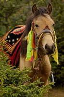 Horse at the Horse Racing Festival, Zhongdian, Deqin Tibetan Autonomous Prefecture, Yunnan Province, China Fine Art Print