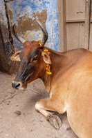Cow withFflowers, Varanasi, India Fine Art Print