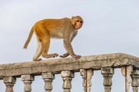 Monkey, Varanasi, India Fine Art Print