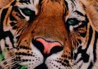 Face of Bengal Tiger, India Fine Art Print