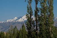 India, Ladakh, Leh, Trees in front of snow-capped mountains Fine Art Print