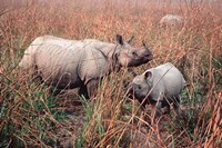 Indian Rhinoceros in Kaziranga National Park, India Fine Art Print