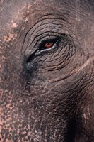 Asian Elephant's Eye, Kaziranga National Park, India Fine Art Print