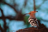Common Hoopoe in Bandhavgarh National Park, India Fine Art Print