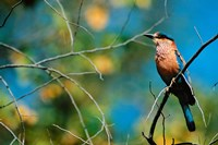 Indian Roller in Bandhavgarh National Park, India Fine Art Print