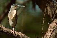Little Heron in Bandhavgarh National Park, India Fine Art Print