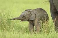 Asian Elephant,Corbett National Park, Uttaranchal, India Fine Art Print