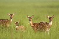 Chital Deer wildlife, Corbett NP, Uttaranchal, India Fine Art Print