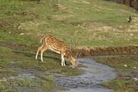 Chital wildlife, Corbett NP, Uttaranchal, India Fine Art Print