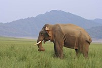 Elephant in the grass, Corbett NP, Uttaranchal, India Fine Art Print
