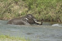 Elephant taking bath, Corbett NP, Uttaranchal, India Fine Art Print