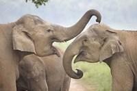 Elephants Play Fighting, Corbett National Park, Uttaranchal, India Fine Art Print