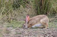 Indian Hare wildlife, Ranthambhor NP, India Fine Art Print