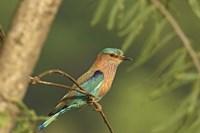 Indian roller bird, Corbett NP, Uttaranchal, India Fine Art Print