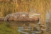 Marsh Crocodile, Ranthambhor National Park, India Fine Art Print