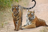 Pair of Royal Bengal Tigers, Ranthambhor National Park, India Fine Art Print