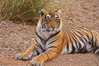 Portrait of Royal Bengal Tiger, Ranthambhor National Park, India Fine Art Print