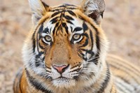 Royal Bengal Tiger Head, Ranthambhor National Park, India Fine Art Print
