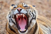 Royal Bengal Tiger mouth, Ranthambhor National Park, India Fine Art Print