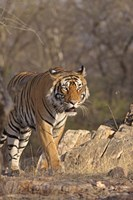 Royal Bengal Tiger On The Move, Ranthambhor National Park, India Fine Art Print