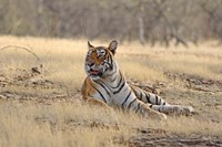 Royal Bengal Tiger resting, India Fine Art Print