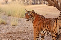 Royal Bengal Tiger, Ranthambhor National Park, India Fine Art Print