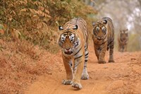 Royal Bengal Tigers Along the Track, Ranthambhor National Park, India Fine Art Print