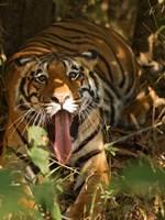 Bengal Tiger, Madhya Pradesh, Bandhavgarh, India Fine Art Print