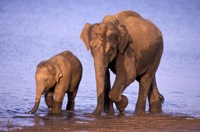 Pair of Asian Elephants, Nagarhole National Park, India Fine Art Print