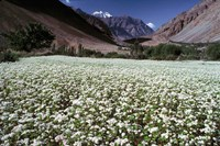 India, Ladakh, Suru, White flower blooms Fine Art Print