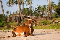 Goa, India. A lazy cow resting on Vagator Beach Fine Art Print