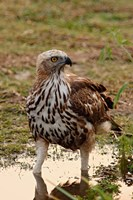 Changeable Hawk Eagle, Corbett National Park, India Fine Art Print