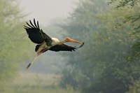 Painted Stork in flight, Keoladeo National Park, India Fine Art Print